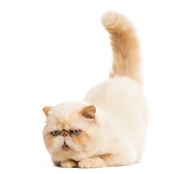 Persian staring in front of a white wall