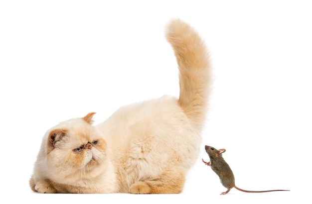 Persian staring at a mouse in front of a white wall