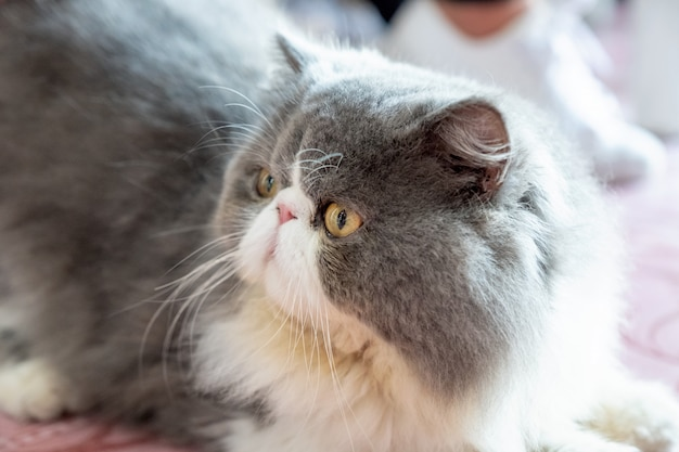 Persian white gray cat fluffy long hair lying with looking