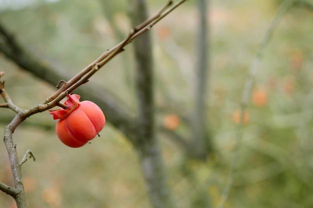 Persimmon fruit detail in vivid orange