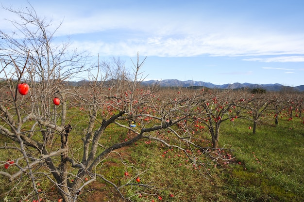 Persimmon fruits on trees  field agriculture