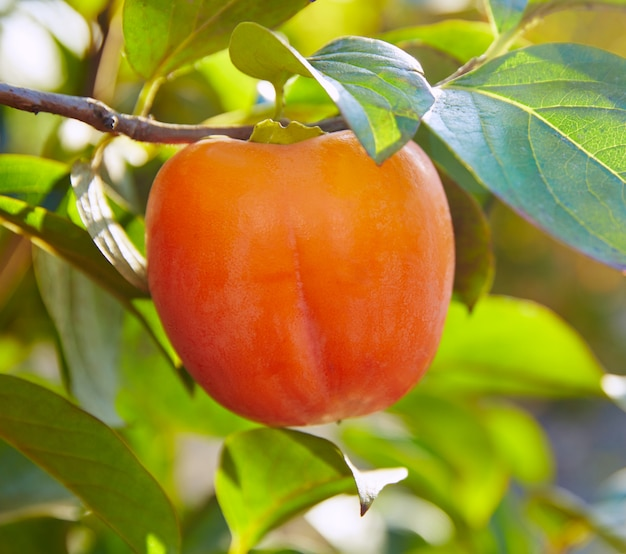 Persimmon khaki fruit in the tree with leafs