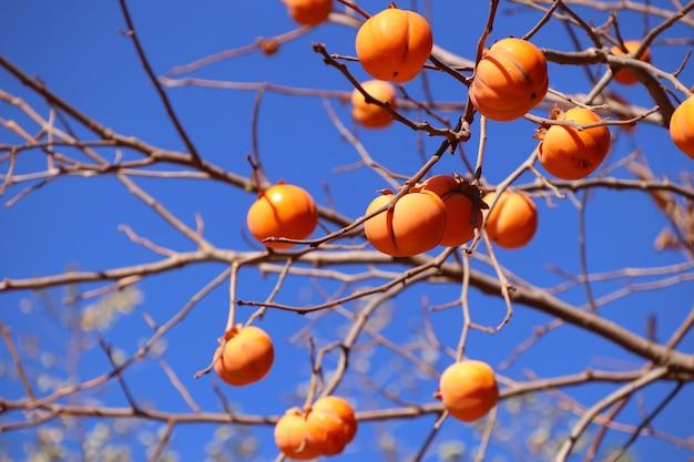 Persimmon tree spring korea