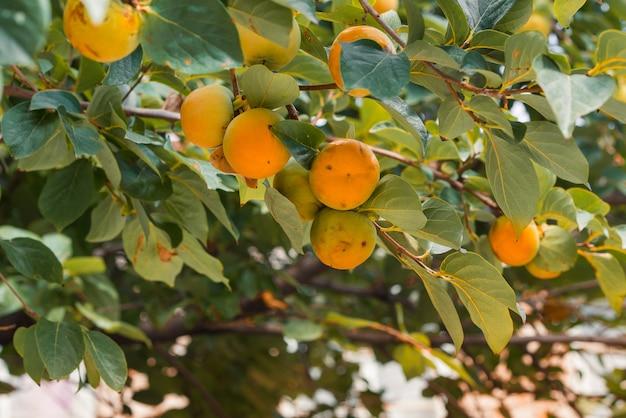 秋に柿が多い柿の木