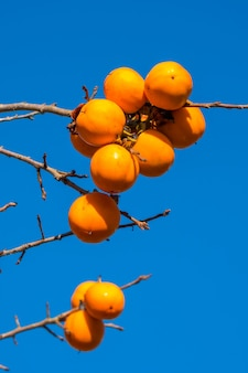 잘 익은 오렌지 과일 agenst 푸른 하늘, 가을 시간 감 나무.