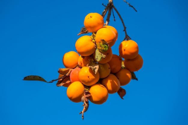 青空秋の時期に熟したオレンジ色の果物と柿の木