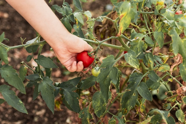 Person collecting a tomato in the garden