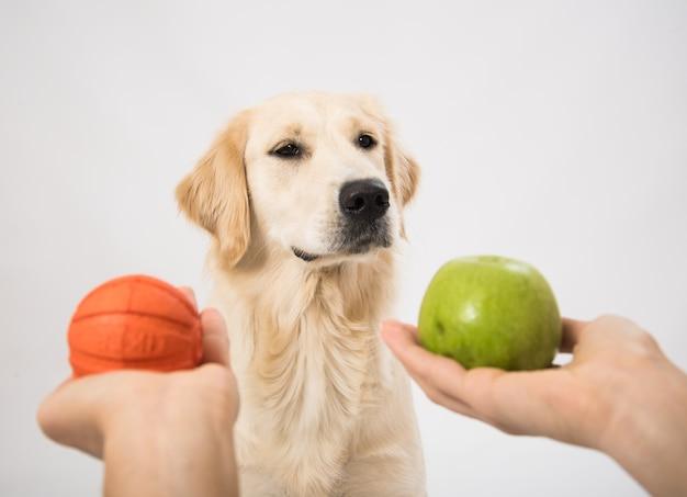 ゴールデンレトリバーの犬にボールとリンゴを与える人