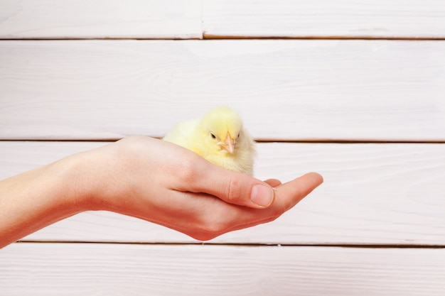 Person holding baby chicks