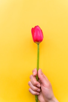 Person holding bright tulip