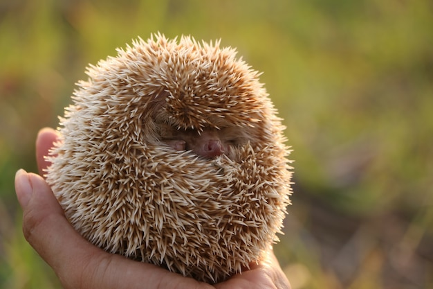 Person holding cute hedgehog in hand scared spiny mammal