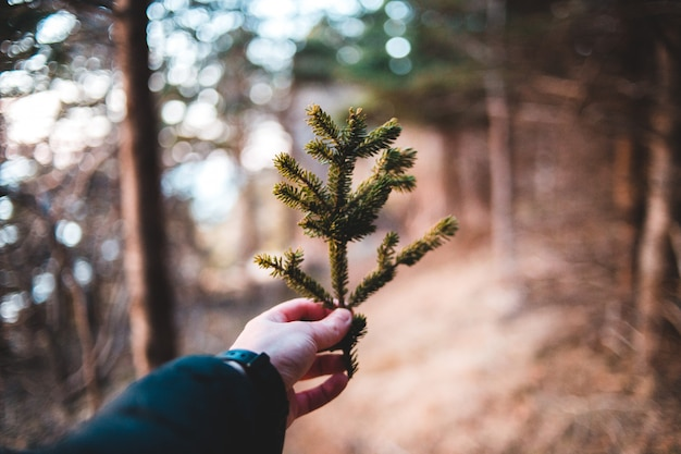 Person holding green pine tree