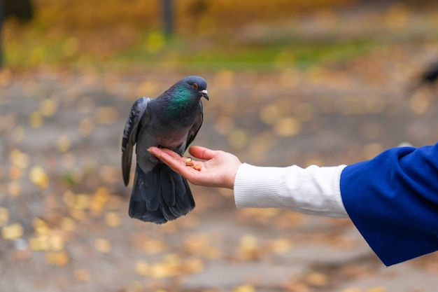 The person is holding a dove on the hand. feeds pigeons in the park. tame a pigeon.