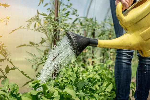 人はじょうろを使用して温室でグリーントマト植物に水をまきます