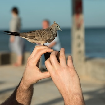 Person photographing with pigeon perching on his fingers, waikiki, honolulu, oahu, hawaii, usa