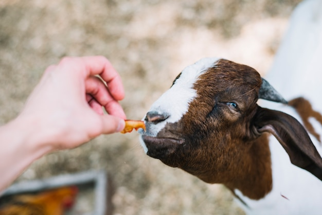 A person's hand feeding food to goat