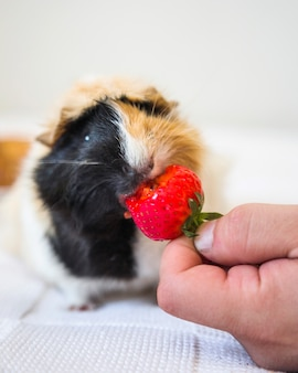 A person's hand feeding strawberries to guinea pig