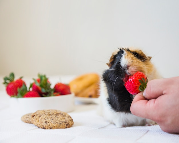 A person's hand feeding strawberry to rabbit