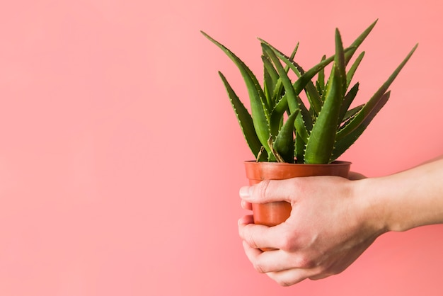 A person's hand holding aloevera pot plant against colored backdrop