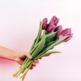 Person's hand holding blooming red tulip on pink background