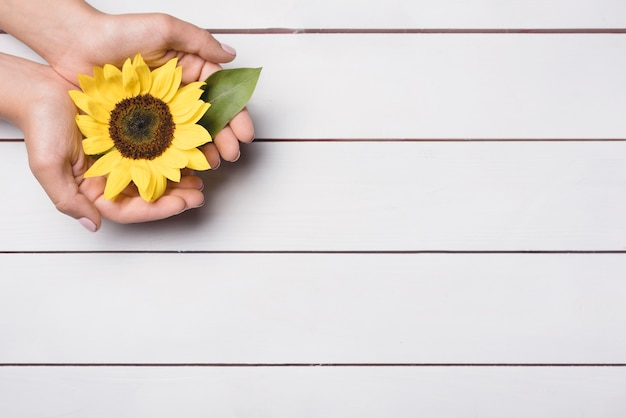 A person showing sunflower in hands over wooden background