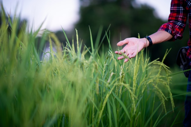 Person touching jasmine rice plants in the field