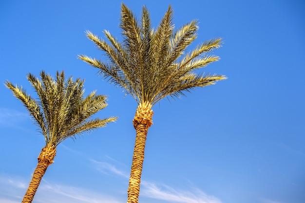 夏の青い活気に満ちた空に対する熱帯地域の新鮮な緑のヤシの木の透視ダウンビュー