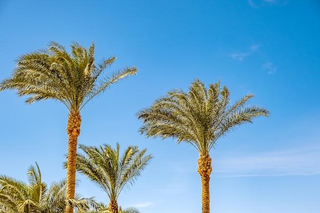 夏の青い活気に満ちた空に対する熱帯地域の新鮮な緑のヤシの木の透視ダウンビュー。