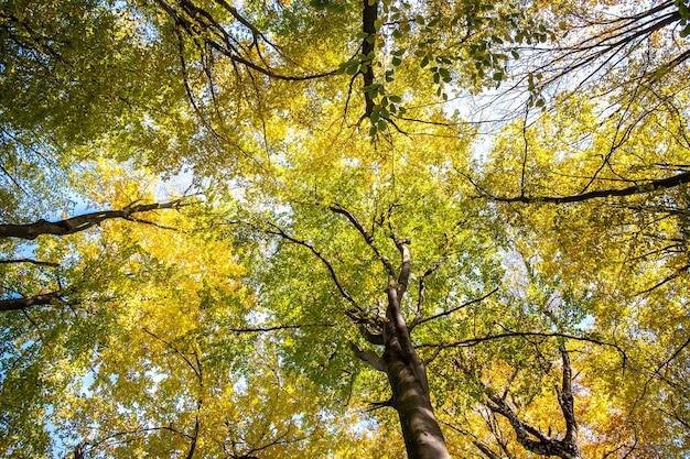 明るいオレンジと黄色の葉を持つ秋の森の下から上への視点