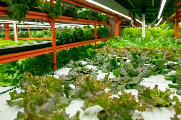 온실의 수직 농장 건설 선반에서 자라는 바질과 상추 채소의 관점