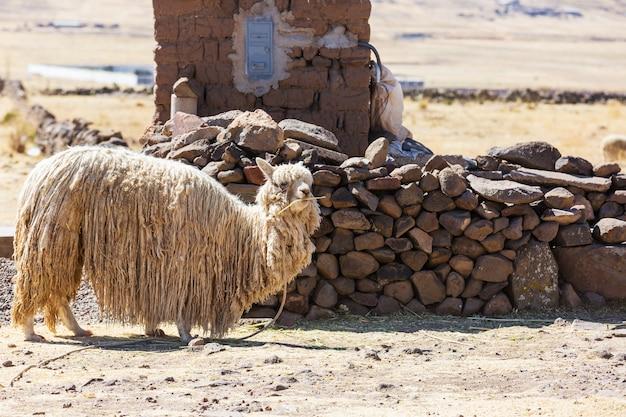 안데스 산맥의 페루 알파카