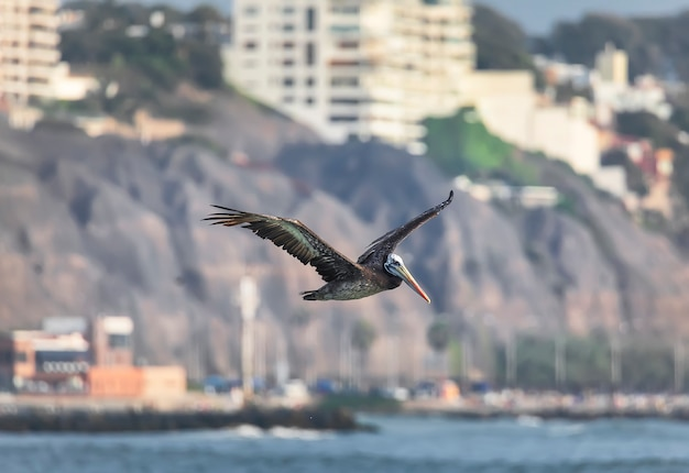Peruvian brown pelican  is flying over the pacific ocean with coastline on the background. lima, peru. south america.