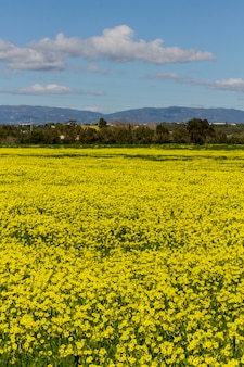 ポルトガル、ラゴアの黄色のオザリスpes-caprae花の春の田園風景の美しい景色。