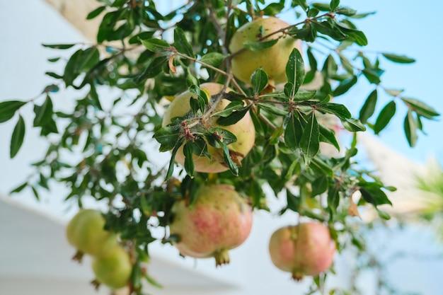 ザクロの木の害虫、果物のクローズアップブランチ。