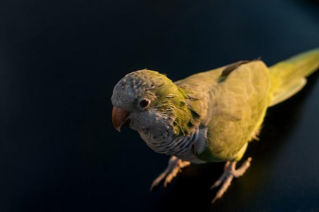 ペットの鳥アルゼンチンオウム-緑の鳥