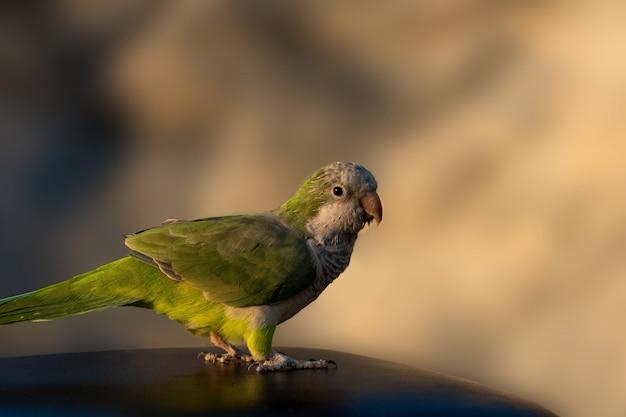 Pet bird аргентинский попугай - зеленая птица