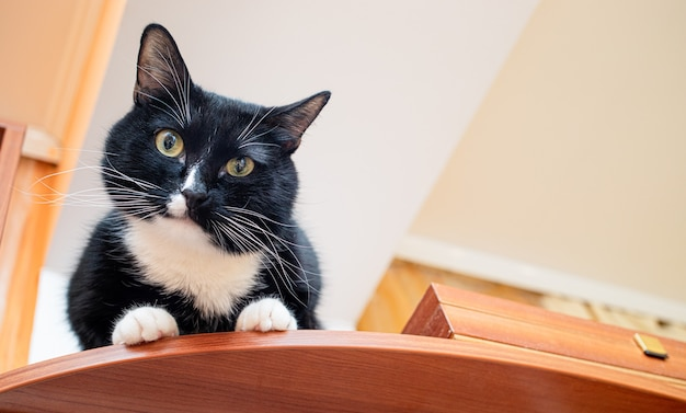 Pet black and white cat is sitting on brown wardrobe near ceiling and looking at camera.