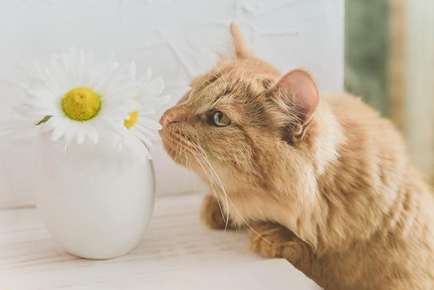 Домашняя кошка нюхает цветок на столе. рыжий кот и ромашки