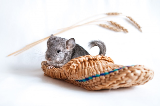 Pet, chinchilla kid in slipper on isolated white background