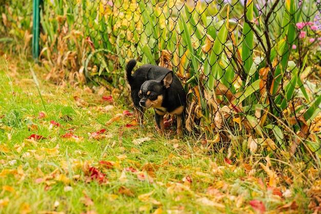 애완견 치와와가 거리를 걷는다. 산책 치와와 강아지. 치와와 검정, 갈색 및 흰색. 산책에 이른 아침에 귀여운 강아지. 가을의 개는 정원이나 공원에서 산책