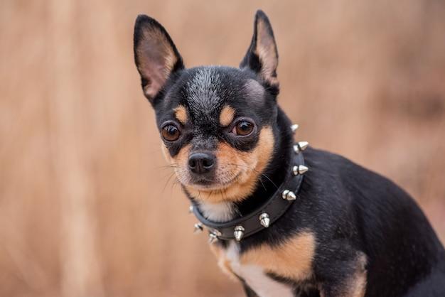 ペットの犬チワワが通りを歩きます。散歩のためのチワワ犬。秋の犬が公園を散歩