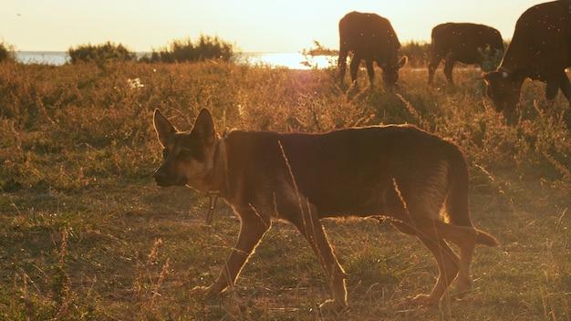 아름다운 빛 속에서 소를 방목하는 애완견.