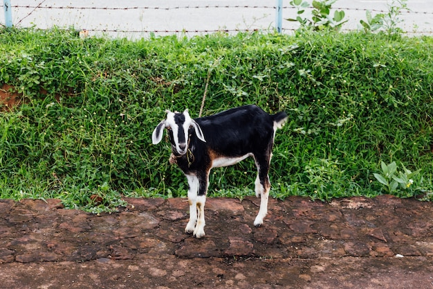 Pet goat with black and white fur standing on dirt.