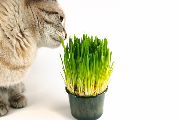 Pet grass or cat grass. domestic cat eat green grass on white background with copy space