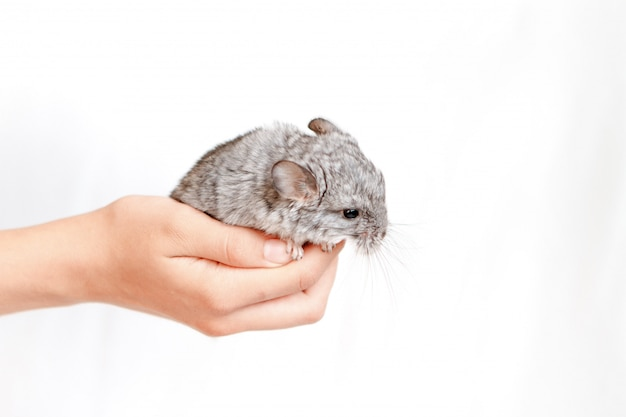 Pet gray baby chinchilla on hand on isolated white background. the concept of breeding