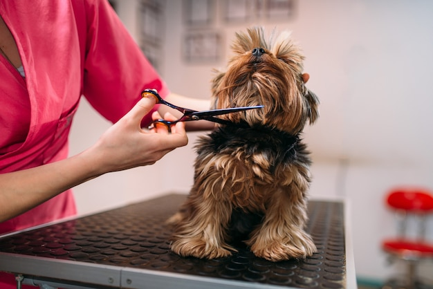 Pet groomer makes grooming dog, hairstyle for domestic animal. professional groom and cleaning service
