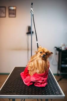 애완 동물 미용사는 수건으로 작은 개를 닦습니다.