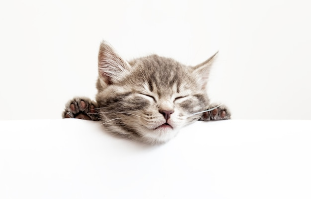 Pet kitten head with paws napping white banner background. kitten sleeping over blank sign placard