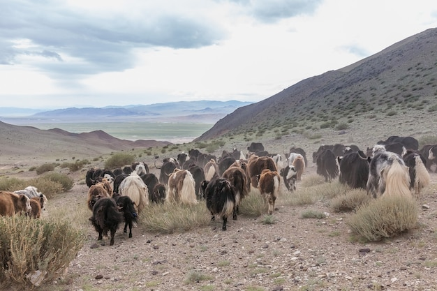 The pet in mongolia is the yak sarlag, bos mutus. a herd of yaks in a pasture