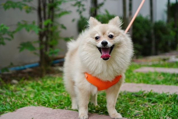 Pet owner walks with a small dog breed or pomeranian